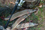 Close up view of freshwater pike fish lies on landing net with fishery catch in it and fishing rod with reel.. - 210133504