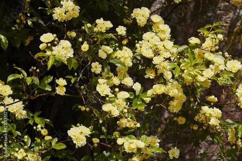Foto Murales Rosa Banksiae