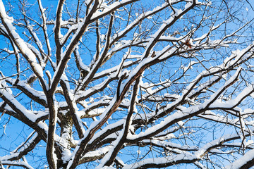 bottom view of snow-covered branches of oak tree
