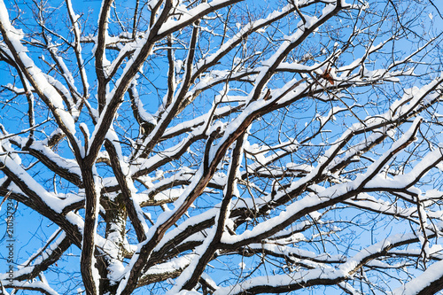 bottom view of snow-covered branches of oak tree - 210137934
