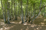 old beech forest in the vosges region in france - 210140144