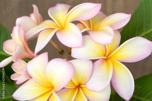 Fotobehang Plumeria Plumeria or frangipani flower, Tropical flower.