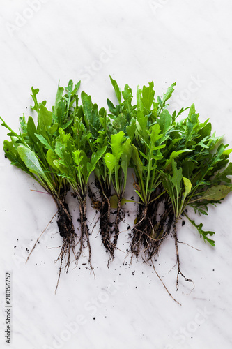 Foto Murales a handful of freshly arugula with roots and soil from the vegetable garden on a marble table. home harvest. ecology and food