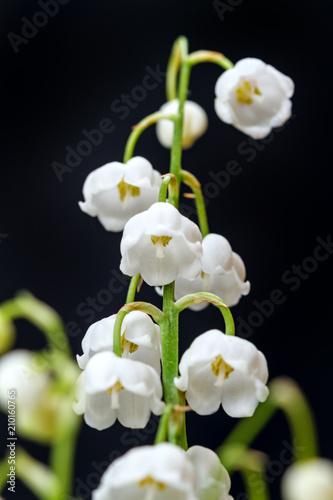 Fotobehang Lelietjes van dalen Lily of the valley on black closeup