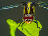 Extreme macro shot eye of head dragonfly in wild. Close up detail of eye dragonfly is very small. Dragonfly on Green leave. Selective focus. - 210168707