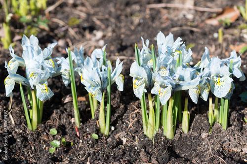 Fotobehang Iris Flowers blue irises blossom in spring