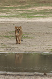 The lioness (Panthera leo) is walking in the middle of dried riverbed to the waterhole with reflection