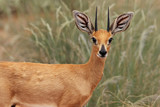 Detail of the steenbok (Raphicerus campestris) or steinbuck with grass in background in typical habitat