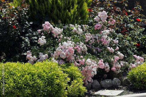 Rosenbeet mit Grünpflanzen im Garten