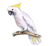 White cockatoo sitting on a branch isolated on white background. A white parrot with a yellow tuft. Watercolor. Illustration. Template. Handmade. Close-up. Clip art.