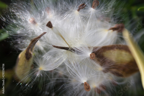 Milkweed seed - 210206706
