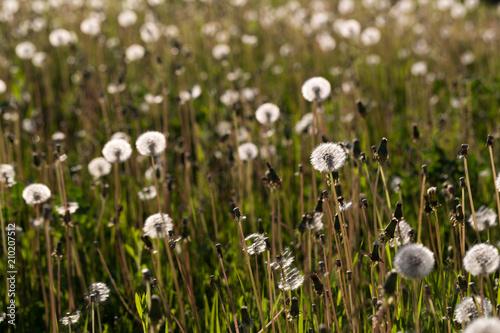 dandelions - 210207512