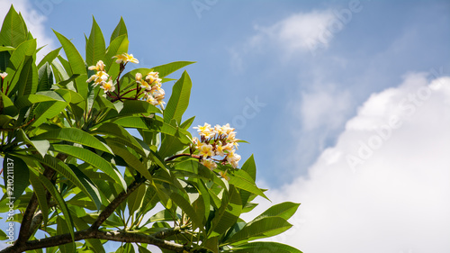 Fotobehang Plumeria yellow and white plumeria flower and the blue sky