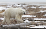 Polar Bear in Hudson Bay near the Nelson River - 210212969