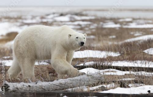Obraz na płótnie Polar Bear in Hudson Bay near the Nelson River
