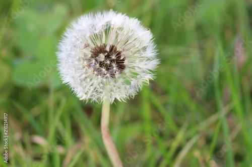 dandelion flower seeds nature weed delicate nature wild  - 210214917