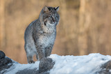 Bobcat (Lynx rufus) Stands to Right on Log - 210220347