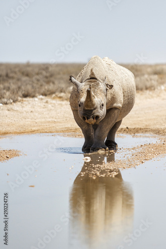 Plexiglas Neushoorn Black rhino with a nice reflection in the water after the rain in Etosha National Park in Namibia