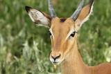 Impala Close-Up - 210229904