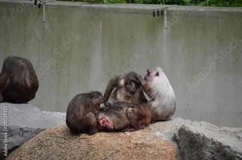 Naklejka caring monkeys