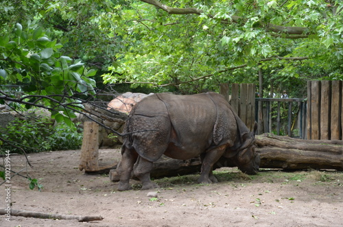Plexiglas Neushoorn armor rhinoceros eating grass wild animal