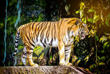 Close up Indochinese Tiger looking at outside and walk around the forest