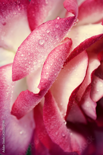 Pink rose closeup with water drops. Holiday background.