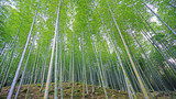 Green bamboo plant forest in Japan zen garden © Andy