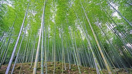 Green bamboo plant forest in Japan zen garden