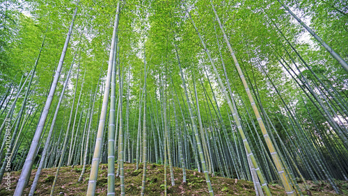 Green bamboo plant forest in Japan zen garden