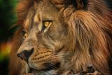 Colours portrait detail face lion - 210287947