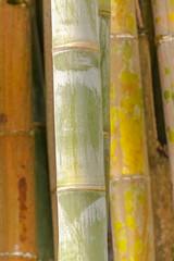 tiges de bambou géant