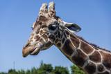 Giraffe head and neck - 210291728