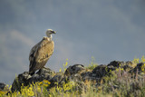 Griffon Vulture - Gyps fulvus, large brown white headed vulture from Old World and Africa. - 210293345
