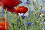 Klatschmohn auf Blumenwiese