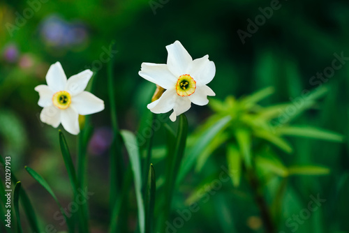 Two beautiful white flowers of narcissus with yellow center on green two beautiful white flowers of narcissus with yellow center on green sunlight background close up mightylinksfo