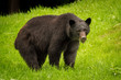 Black bear feeding on fresh green grass on Vancouver Island, British Columbia, Canada