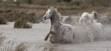 Beautiful White Horses of Camargue France © Dennis Donohue