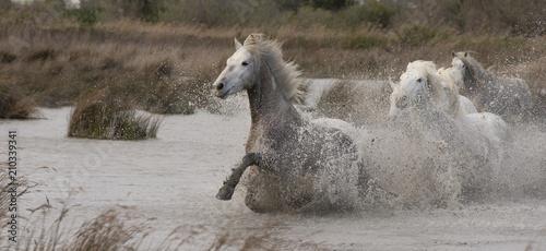 Beautiful White Horses of Camargue France - 210339341
