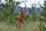 male of impala antelope - 210344706