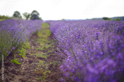 Beds on a beautiful lavender field in summer 4 © Denis Martynov