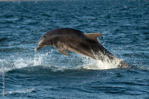 Fototapeta Bottle nosed dolphins