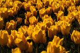 Yellow tulips close-up