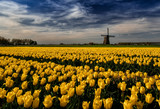 Mill with tulip field