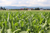 Clementing corn. Maturation of the future harvest. Agrarian sector of the agricultural industry. Plant farm. Growing of cereal crops. Source of food and well-being.