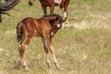 Cute Wild Horse Foal in Utah in Summer - 210363319