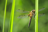 Close-up of a four-spotted chaser dragonfly insect, Libellula quadrimaculata - 210376759