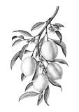 Lemon branch illustration black and white vintage clip art isolate on white background - 210391571