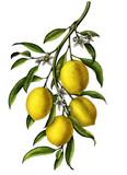 Lemon branch illustration vintage clip art isolate on white background - 210391598