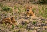 Jung-Löwe bei der Siesta